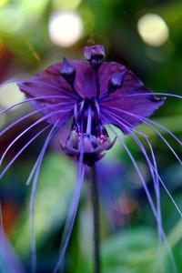 black bat plant
